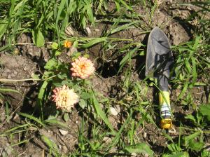 Orange Miniature Rose, gopher hole and shovel
